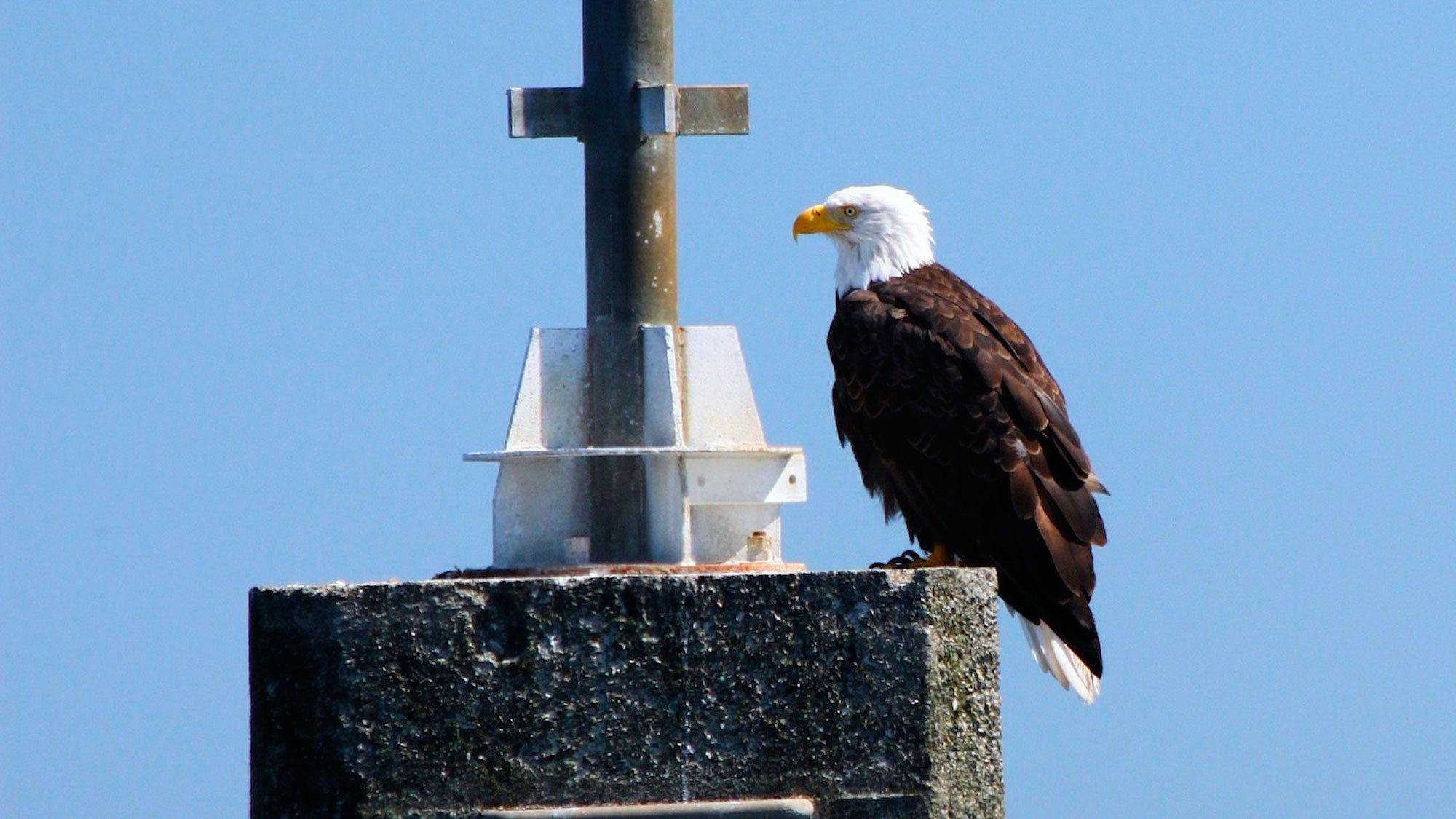 Bald eagle in Victoria