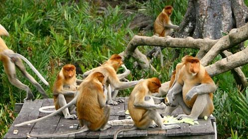 Cute group of orang utan in Sandakan