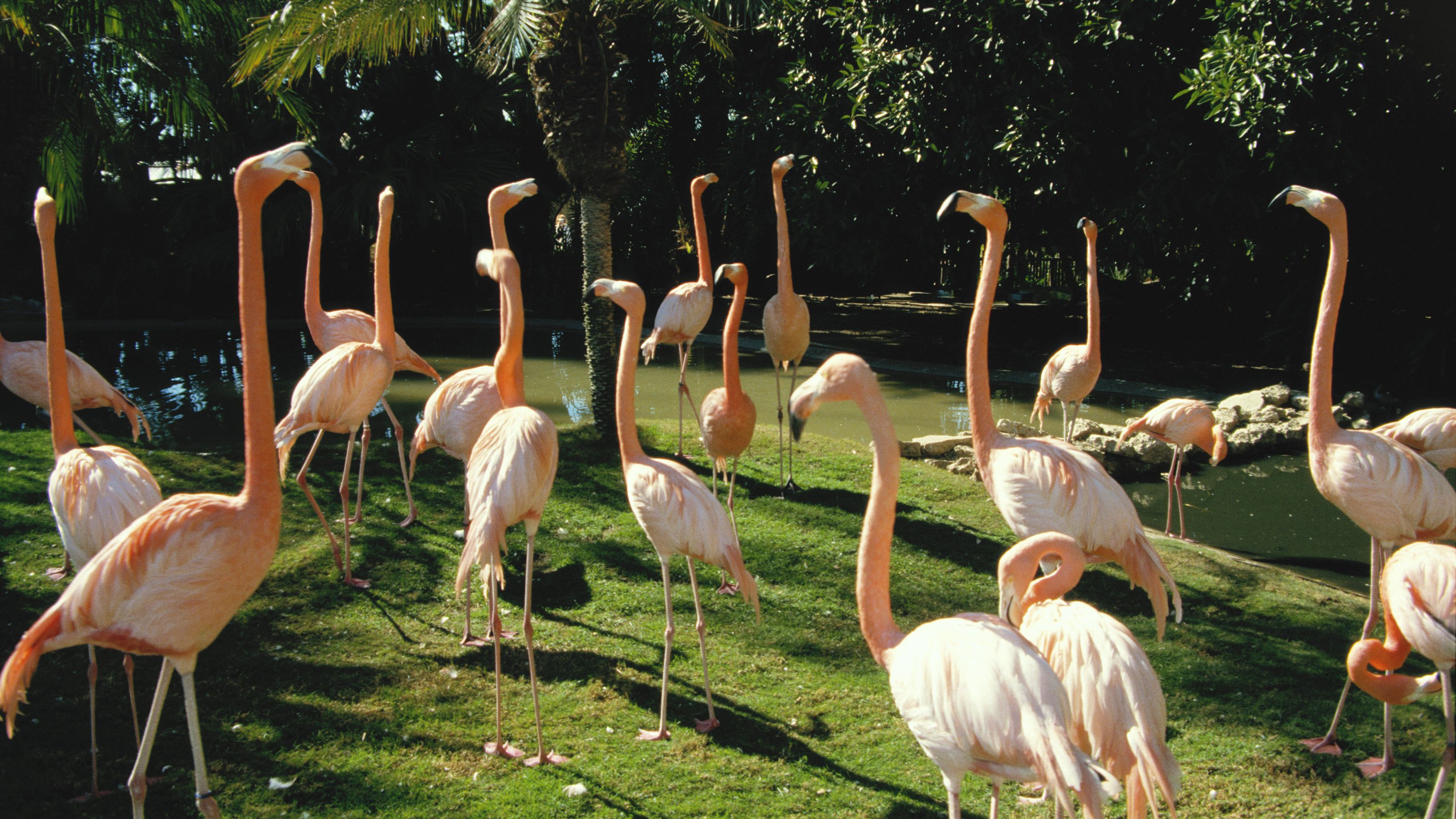 Flamingos at the singapore zoo