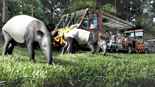 Tapirs and tourist shuttles in the grass at the night safari in singapore