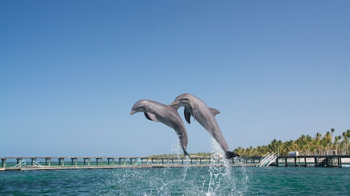 A pair of dolphins jumping out of the water in La Romana