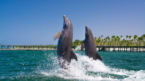 Two dolphins swimming upright in the water in La Romana