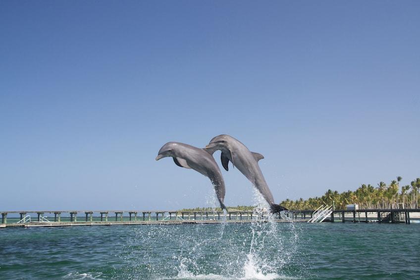 Dolphin Swim & Interaction from La Romana or Bayahibe