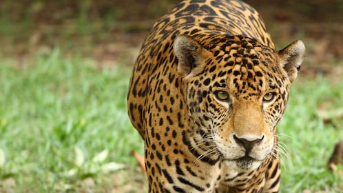 Leopard at Xcaret Park Zoo in Riviera Maya