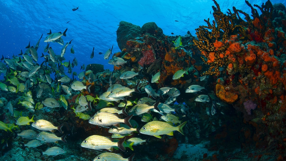 School of fish and the coral reef in Riviera Maya