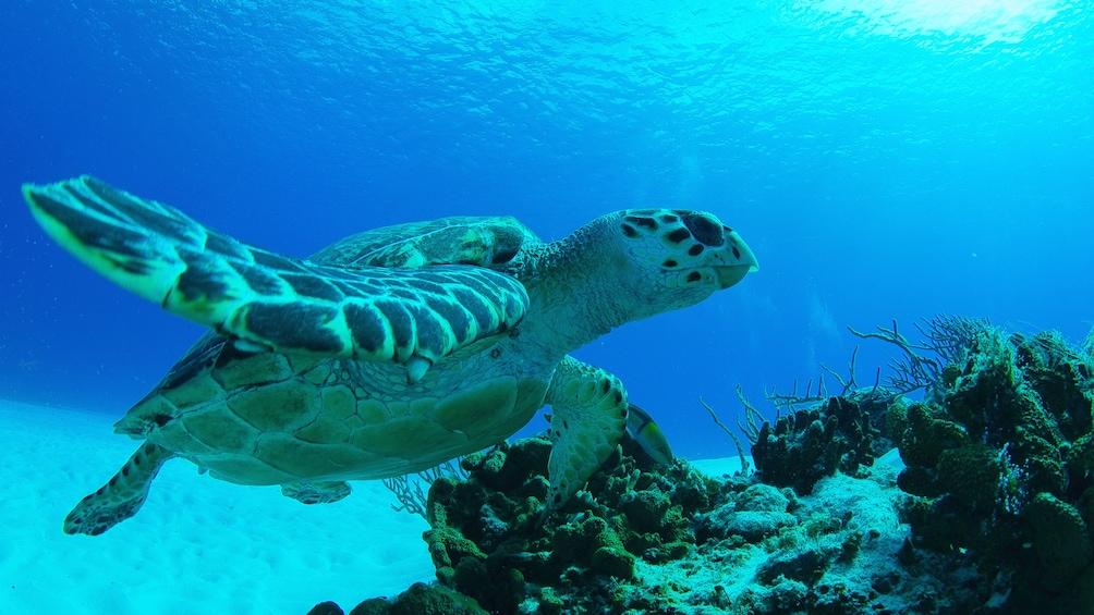 Sea turtle underwater in Riviera Maya