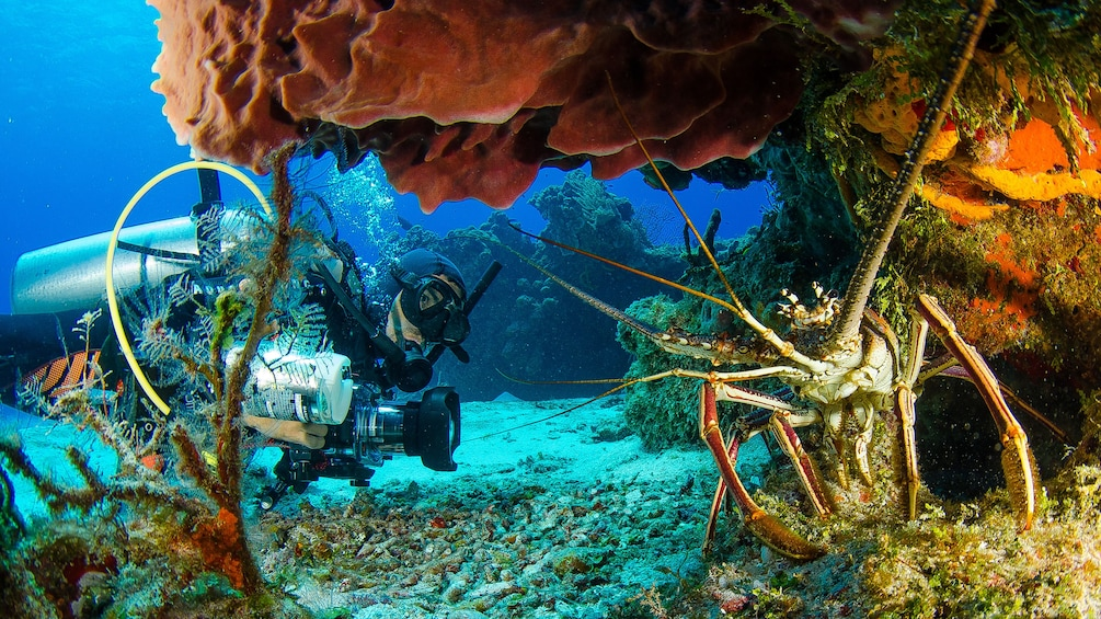 Scuba diver approaching large crab in Riviera Maya