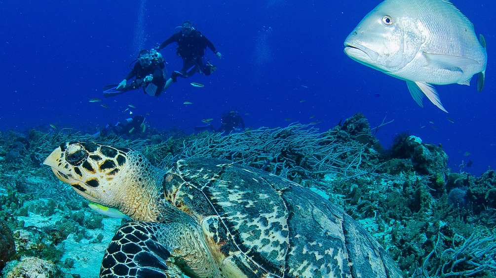 Scuba divers looking at sea turtle and fish in Riviera Maya
