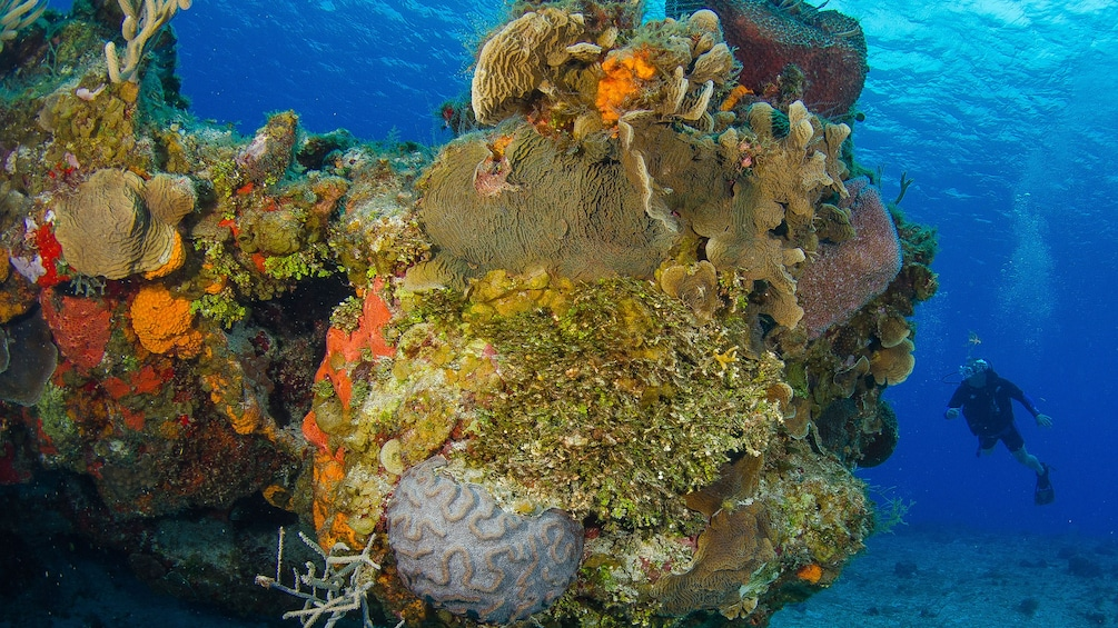 Large coral formation with scuba diver in Riviera Maya