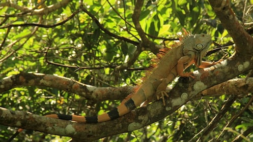 Iguana perched in a tree