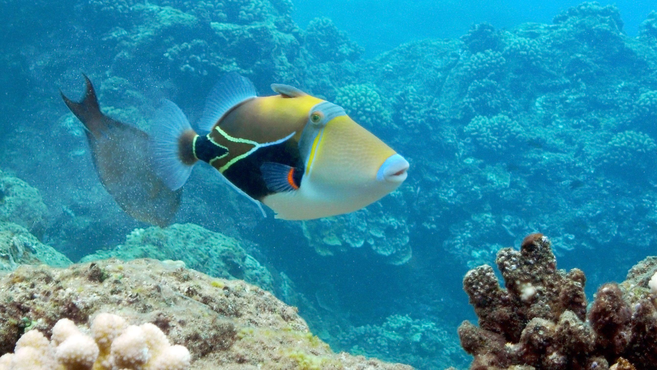 Large colorful fish