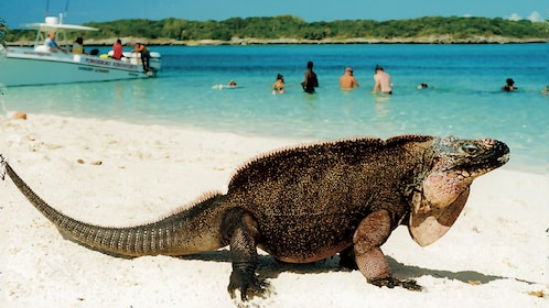 Giant lizard on beach in Bahamas