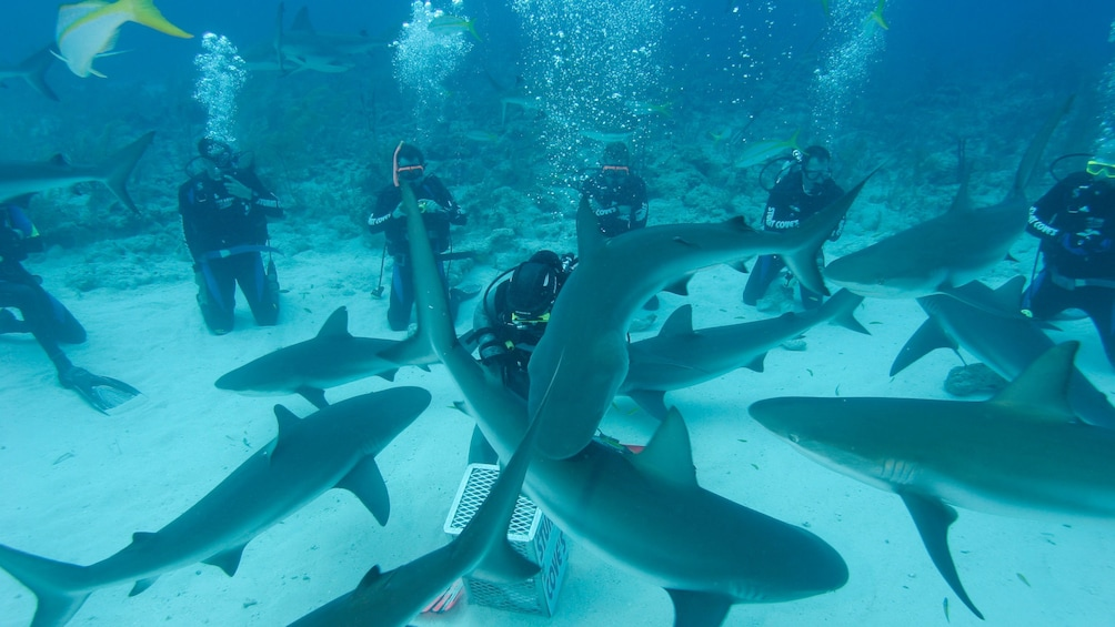 Show item 3 of 9. Sharks on Dive adventure in Bahamas