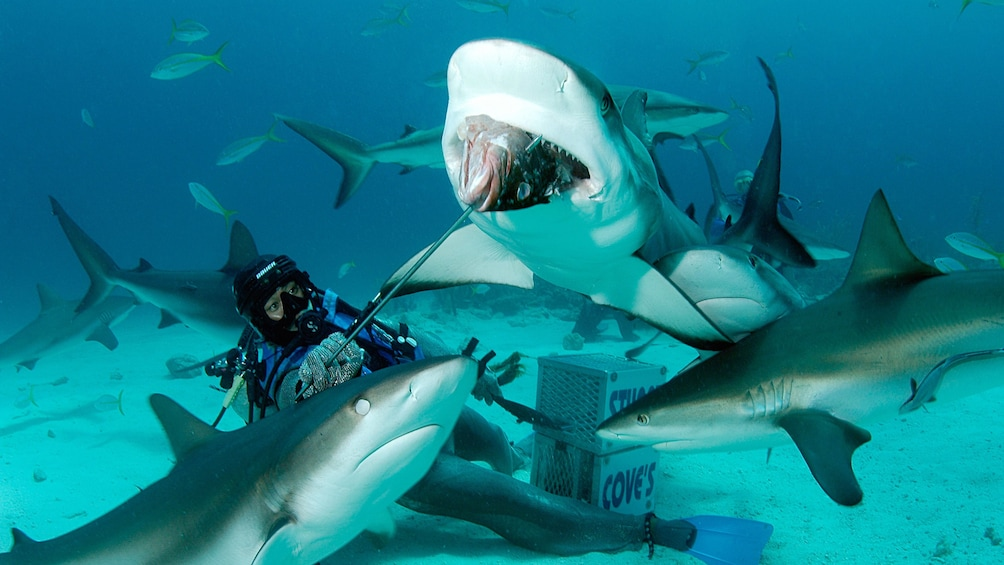 Show item 1 of 9. Sharks on Dive adventure in Bahamas