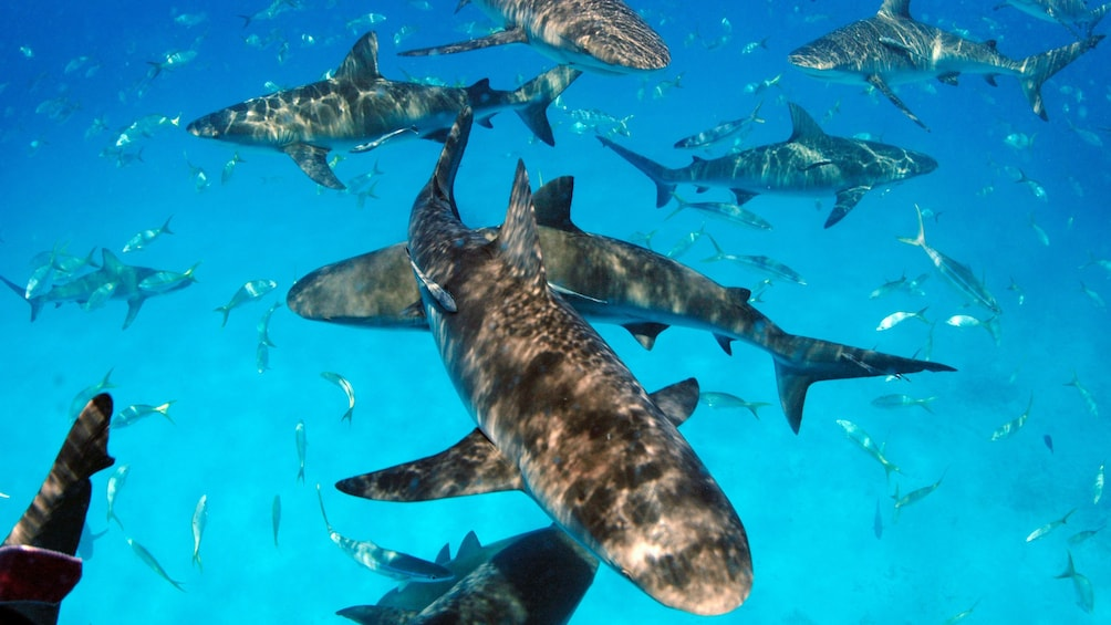Show item 9 of 9. Sharks on Dive adventure in Bahamas