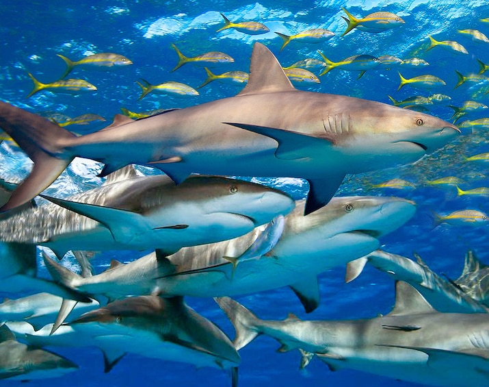 Snorkeling Excursion, Tropical Reefs & Sharks!