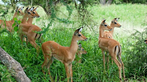 Herd of impala antelopes at Tarangire National Park in Tanzania