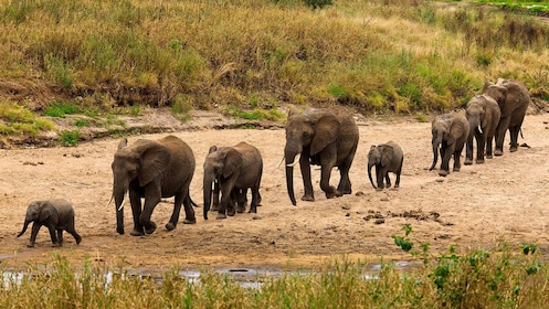 Row of elephants of all ages walking through Tarangire National park in Tanzania