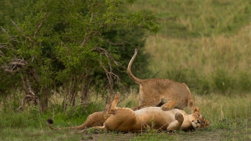 Pair of lions playing in the grass at Tarangire National Park in Tanzania