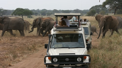 Pair of jeeps with observation roofs driving past a herd of elephants at Tarangire National Park