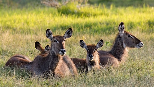Herd of common waterbuck lounging in the grass at Tarangire National Park