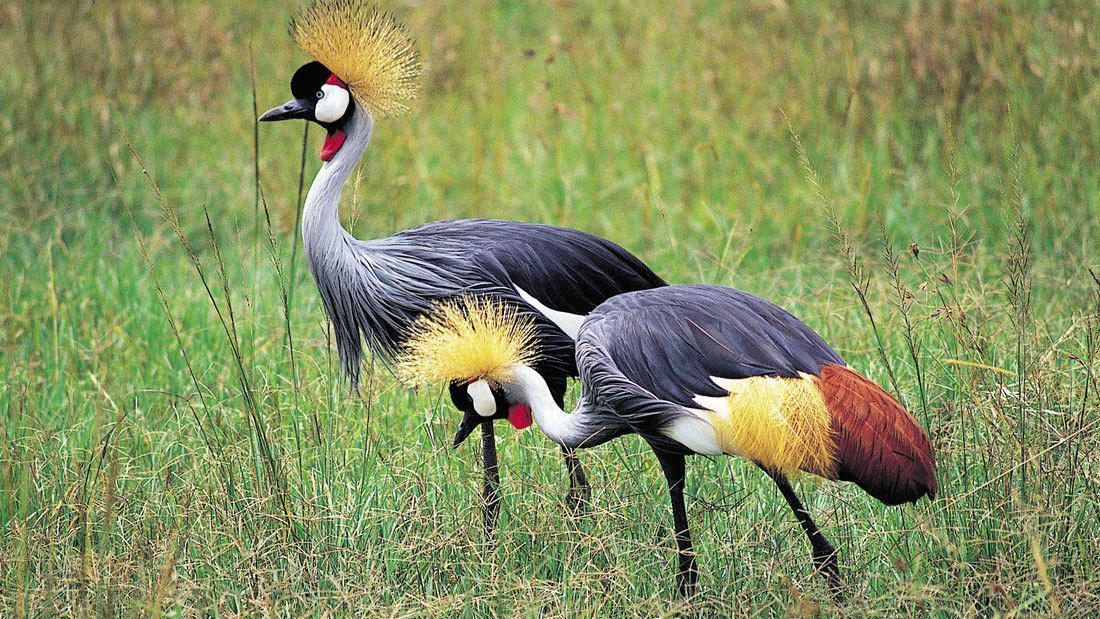 Colorful grey crowned cranes at Lake Manyara National Park in Tanzania