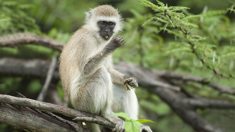 White monkey with a black face sitting on a branch eating leaves at Lake Manyara National Park in Tanzania