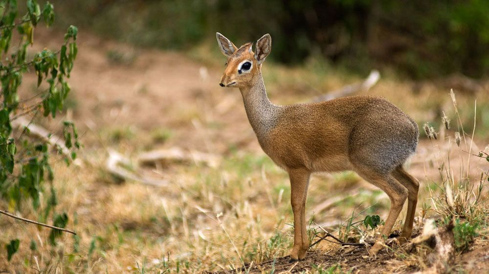 Dwarf antelope also known as a dik-dik at Lake Manyara National Park in Tanzania