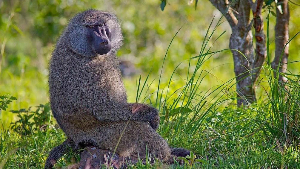 monkey in africa