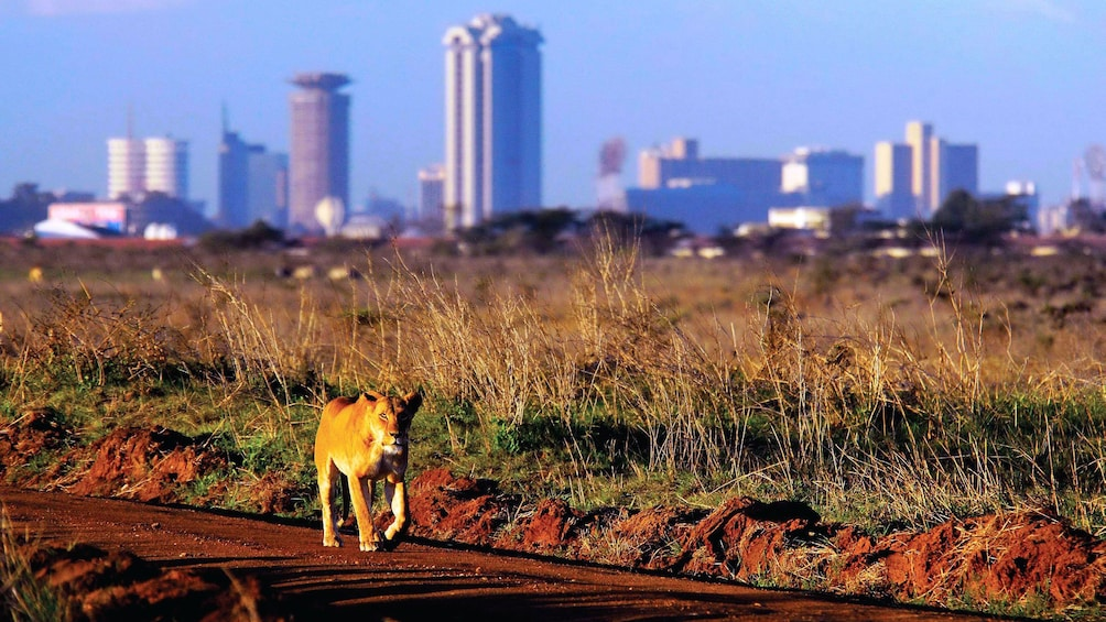 lion and city view in africa