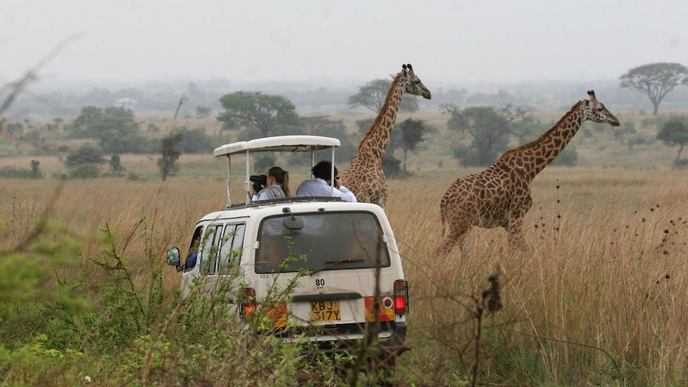 tour vehicle and giraffes in africa