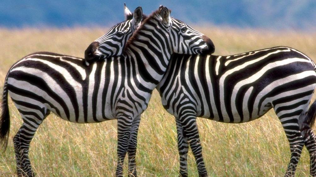 zebras in field in africa
