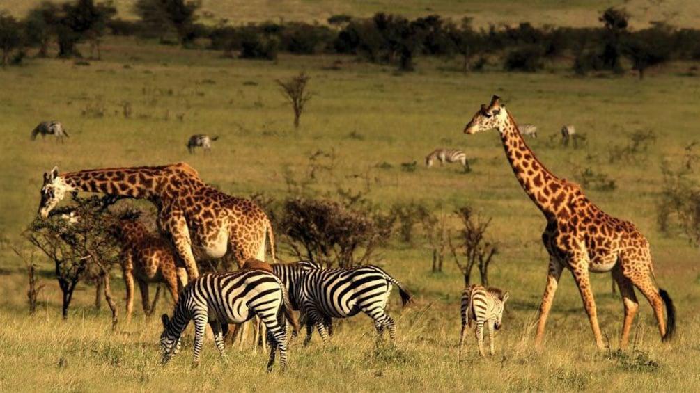 giraffes and zebras in africa