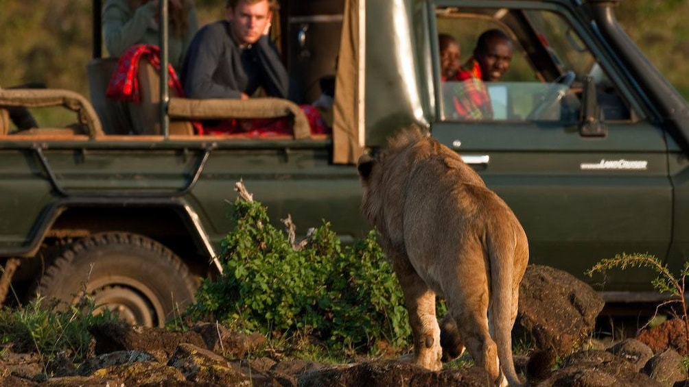 lion near tour vehicle in africa