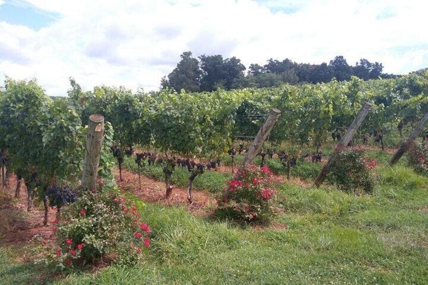 Memorable and exciting Vineyard in Virginia