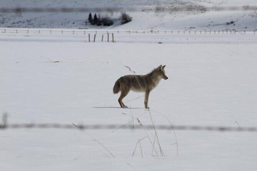 Show item 2 of 9. Grand Teton Winter Wildlife Tour