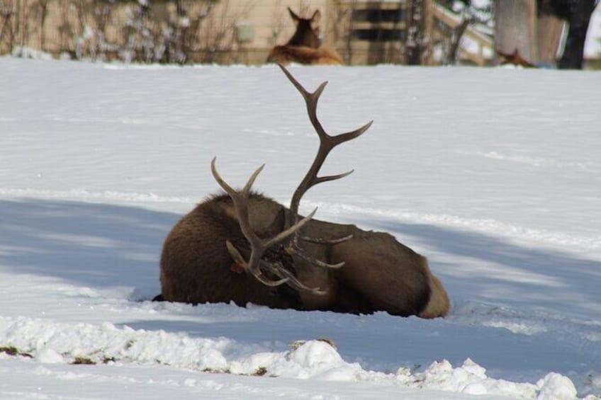 Show item 3 of 9. Grand Teton Winter Wildlife Tour