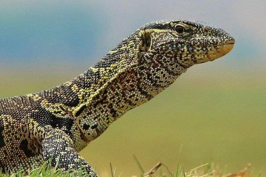 Show item 3 of 10. monitor lizard @chobe national park