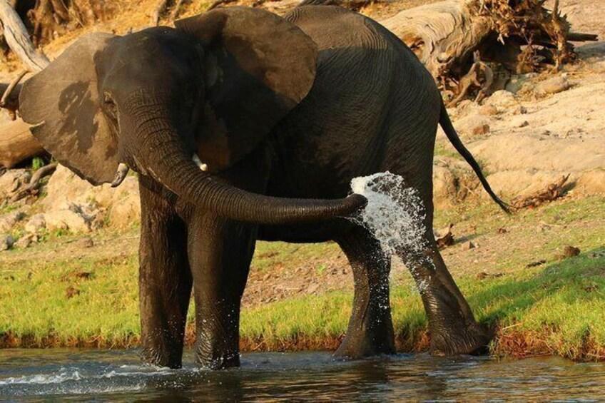 Show item 4 of 10. Elephant having a drink @chobe river @chobenationalpark