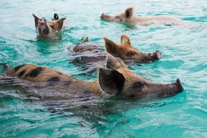 Swim with Pigs in Meeks Patch, North Eleuthera, Bahamas