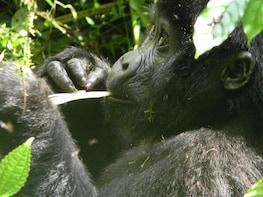 4 days Luxury Primate Tracking Safari