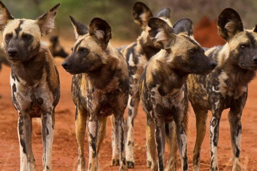 Show item 2 of 7. Wild Dogs