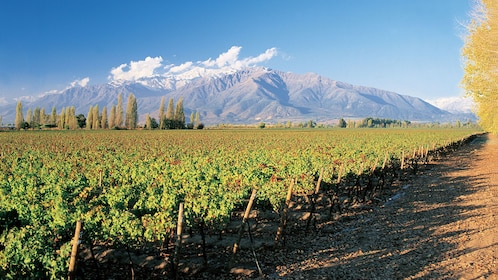 Large vineyard with mountains in the background in Santiago
