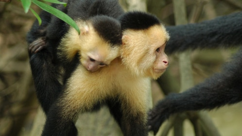 Pair of white and black Capuchin monkeys in Costa Rica