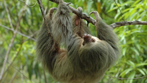 Sloth hanging from a branch in the Manuel Antonio National Park in Costa Rica