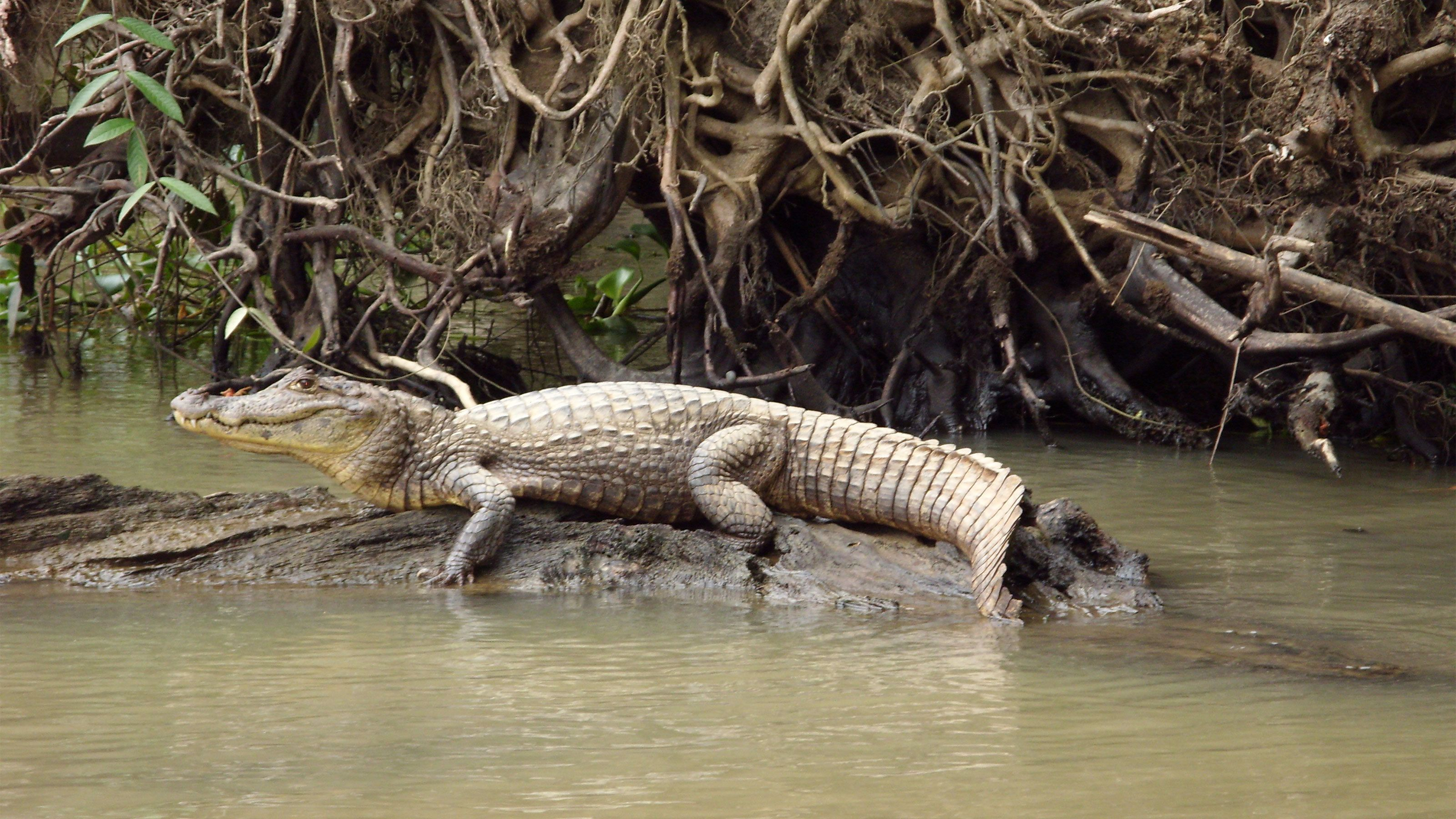 Crocodile resting on a log in the waters of Tortuguero National Park in Costa Rica