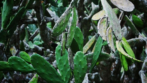 Cactus plants in Belize