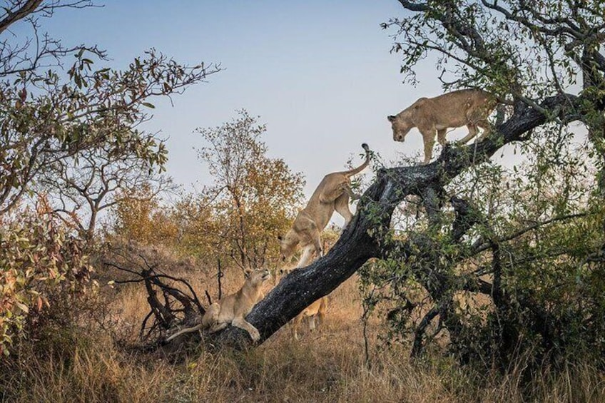 Lions also Climb trees, Hwange National Park Zimbabwe