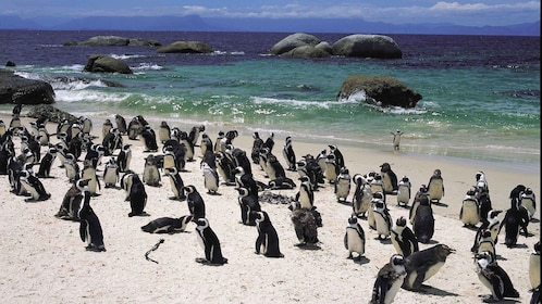 Penguins basking at the beach in South Africa