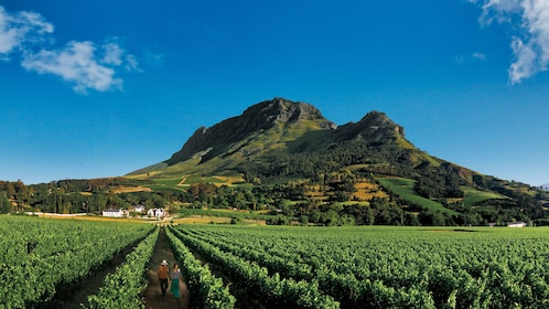 Large vineyard near the mountain in South Africa